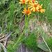 Senecio abrotanifolium. Asteraceae.<br /><br />Senecio abrotanino.<br />Sènecon a feuilles d'aurone.<br />Eberreisblättriges Greiskraut.