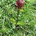 Gentiana purpurea. Gentianaceae.<br /><br />Genziana porporina.<br />Gentiane purpre.<br />Purpur-Enzian.