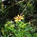 Vom Steinbrech gibt es ganz viele Variationen. Fetthennen-Steinbrech (Saxifraga aizoides)<br /><br />Della Saxifraga esistono molte variazioni. Fetthennen-Steinbrech (Saxifraga aizoides)