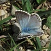 Bläuling (Lycaenidae) mit schönem blauen Fell<br /><br />Lycaenidae con bel pelo azzurro
