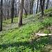 Teppich von Lerchensporn am alten Burg-Berg Sokol