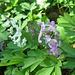 der schöne Hohle Lerchensporn (Corydalis cáva), der in weiß und purpur auftritt