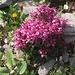 Quirlblättriges Läusekraut (Pedicularis verticilata).