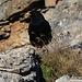 Foto von 2. Besteigungsversuch am 6.9.2011:<br /><br />Alpendohle (Pyrrhocorax graculus)