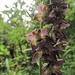Breitblättriges Stendel/Sumpfwurz (Epipactis hellborine)