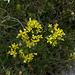 Brillenschötchen (Biscutella laevigata)