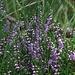 Besenheide, Heidekraut, Erica (Calluna vulgaris)