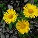 sonnige Blumen