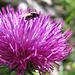Davon hat es zur Zeit auf Bergwiesen im Überfluss: Blumen und Fliegen