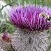 Eine Hummel in einer hübschen Blume (...bestimmt weiss jemand deren Name?)