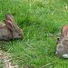 Freilaufende Kanninchen auf der Mitlist Morgete