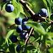 Schlehenfrüchte, es wird langsam Herbst