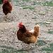 Hühner stehen auf einem Bein, wie Störche