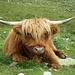 Ein gemütlicher Kerl ;) Schottische Hochlandrinder hat es viele in der Gegend des Lej Languard