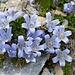 noch mehr Mont Cenis Glockenblumen