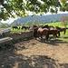 Auch hier sind wieder viele Pferde.