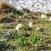 Frühlingsboten vor Lawine