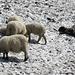 Hier hat es noch Schafe