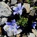 die ersten der überaus schmucken Glockenblumen