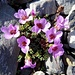 auch diese Alpenblume begeistert uns jedes Mal aufs Neue
