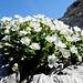 Alpenblumen am Fels 2