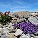 Alpenblumen am Fels 3