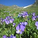 Distesa di violette
