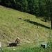 Zwischen Kühe und Ziegen hinab nach Gutenberg zum Auto