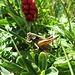 Was ist das für ein Insekt? Im Hintergrund ist Echter Seidelbast (Daphne mezereum) zu sehen.