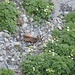 Gämse (Rupicapra rupicapra)