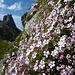 ein prächtiger Blütenpolster auf 2400m
