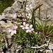 ... im Kalkgebirge eine häufig anzutreffende Pflanze aus der Familie der Nelkengewächse mit weißen bis blassrosa Blüten - Kriechendes Gipskraut