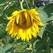 müde Sonnenblume
