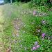 Leuchtender Blühstreifen am Waldsaum