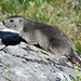 Marmotta nel vallone di Reisassa