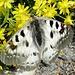 Ein hübscher Schmetterling - müsste ein Hochalpen-Apollo sein (?)