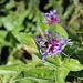 Berg-Flockenblume mit Hummel
