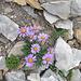 Farbtupfer in der kargen Fels- und Schuttlandschaft am Hinter Grauspitz