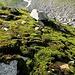 herrliche Moosteppiche im oberen Teil der Roggen Alp