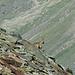 Steingeiss am Beobachten der Wanderer unterhalb