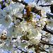 Kirschblüten (Prunus avium)