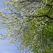 Kirschbaum im Waldrand