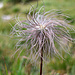 Verblühte Alpenanemone
