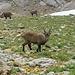 Wunderschön im Alpstein: Es gibt immer wieder Wildtiere zu sehen. Neben den Steinböcken habe ich auch ein Murmeltier und eine Gemse gesehen.