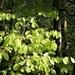 ein Zeichen des Frühlings: die Sonne bescheint die jungen Blätter des Buchenwaldes