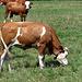 Kühe im Murnauer Moos