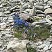 Auch der Enzian wächst und blüht