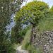 Zwischen Monterosso und Vernazza: Baumartige Wolfsmilch (Euphorbia dendroides)