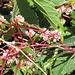 Seide: Blüten und Stängel sind noch attraktiv