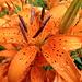 Regentropfen der abziehenden Schlechtwetterfront bei unserem Eintreffen in Sulden (1860 m). Ob die Pflanzen den Frost der folgenden Nacht überlebt haben....?